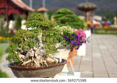 Banyan or ficus bonsai tree in park - stock photo