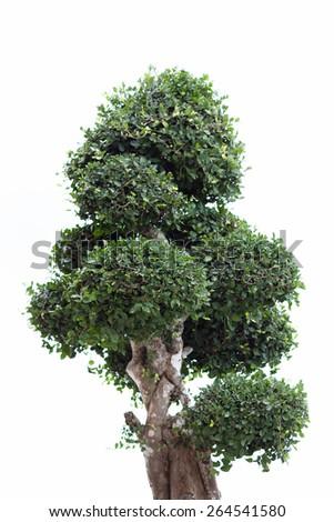 Banyan tree isolated on white background - stock photo