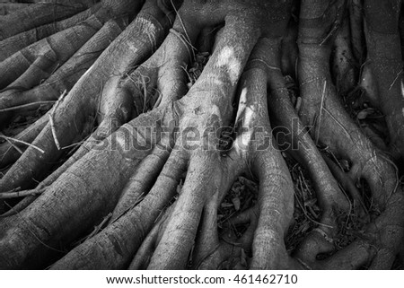 Banyan tree Roots  background - Black and White