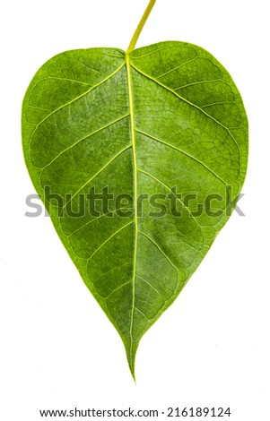 banyan tree leaf - photo #24