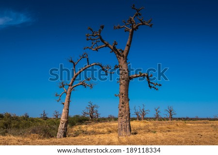 Baobab and African background in Senegal - stock photo