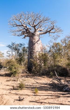 Baobab near Andavadoaka, western Madagascar - stock photo