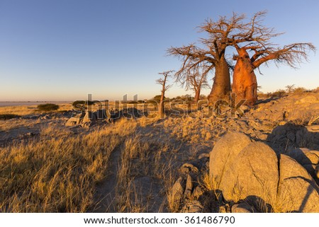 Baobab's in the early morning light - stock photo