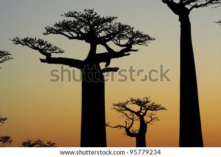 baobab sunset silhouette - stock photo