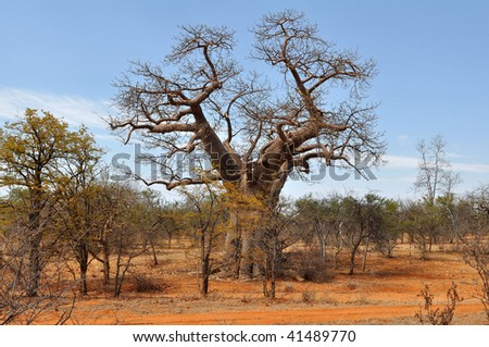 baobab tree and brick colored soil,Limpopo,South africa, - stock photo