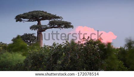 Baobab tree during sunset. Madagascar - stock photo
