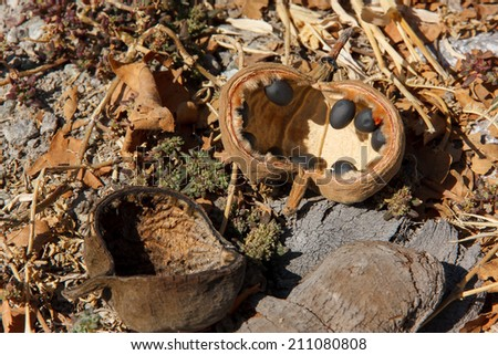 Baobab tree fruit and seeds fallen on the ground and dry. - stock photo