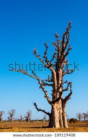 Baobab tree in Africa, Senegal - stock photo