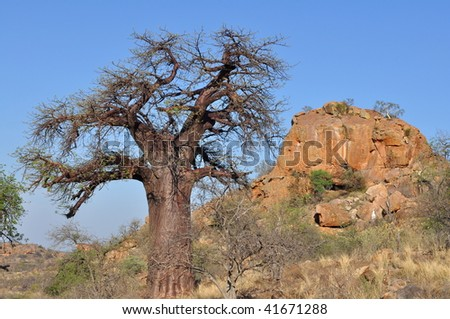 baobab tree in african landscape - stock photo