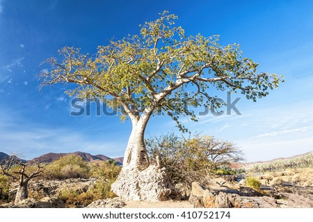 Baobab tree in Epupa falls area in Namibia. Baobab is the common name for each of the nine species of tree in the genus Adansonia and reach heights of 5 to 30 m. and have trunk diameters of 7 to 11 m. - stock photo