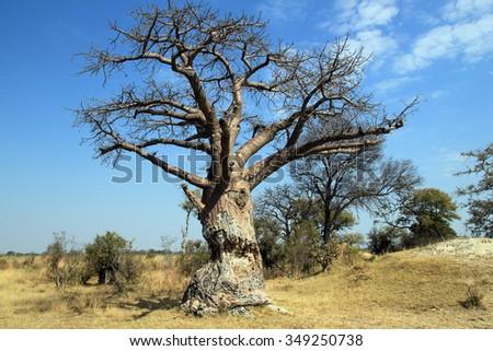 Baobab Tree in Mudumu National Park. Caprivi Strip, Namibia - stock photo