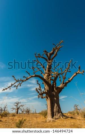 Baobab tree in Senegal - stock photo