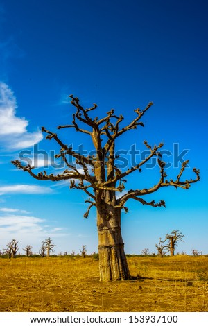 Baobab tree in the desert - stock photo