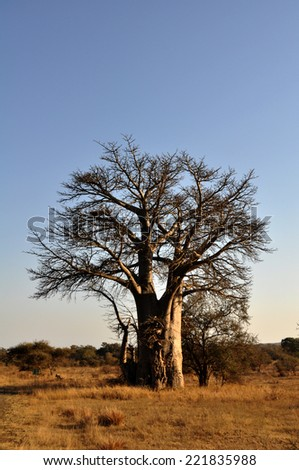 Baobab tree in the Kruger National Park, South Africa - stock photo
