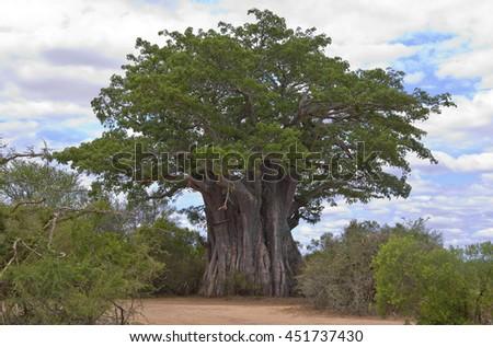 Baobab Tree Stock Photos Royalty Free Images Vectors