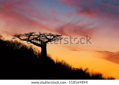 Baobab tree silhouette after sunset, Antsiranana - Bay of Diego Suarez, Madagascar. Wilderness virgin nature scene