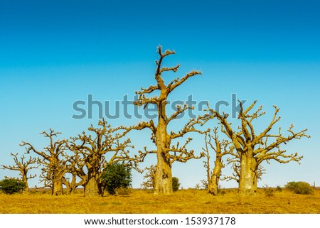 Baobab tree under the blue sky - stock photo