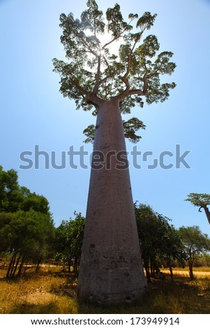 Baobab tree with green leaves on a dry land over blue sky background. Madagascar - stock photo