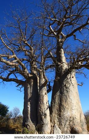 Baobab trees - stock photo