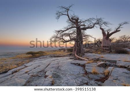 Baobab Trees at Kubu Island - stock photo