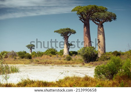 Baobab trees at sunny day - stock photo
