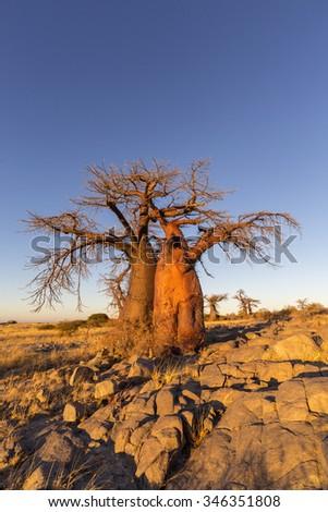 Baobab Trees in golden morning light - stock photo