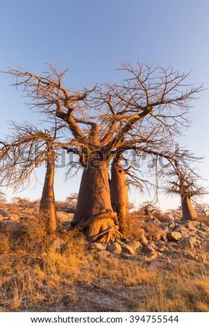 Baobab trees in yellow morning light - stock photo