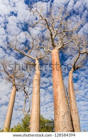 Baobab trees near Morondava, western of Madagascar - stock photo