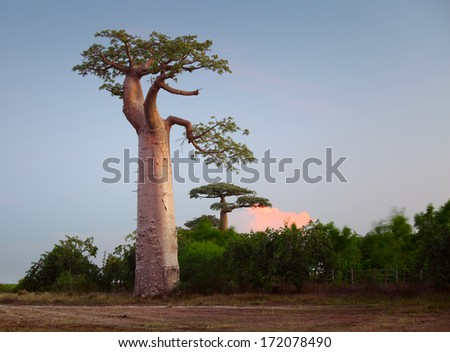 Baobab trees on a dry meadow during sunset. Madagascar - stock photo