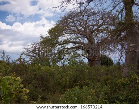 Baobab trees stand in a row - stock photo