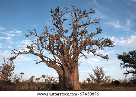 baobabs - stock photo
