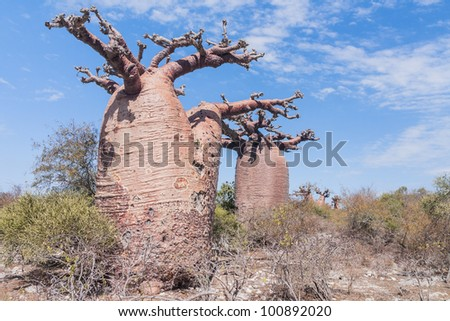 Baobabs forest near Andavadoaka, western Madagascar - stock photo