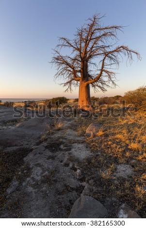 Baoobab tree in early morning light - stock photo