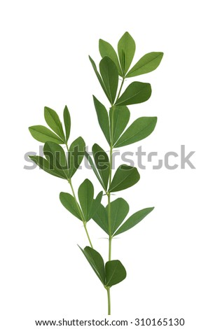 Baptisia australis Wild Indigo leaf isolated on white background - stock photo