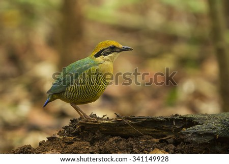 Bar-bellied Pitta female in the nature. - stock photo