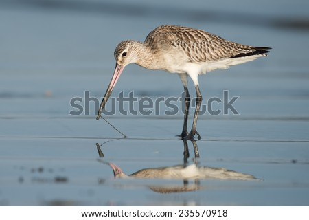 Bar-tailed Godwit (Limosa lapponica) pulling a worm out of wet sand - stock photo