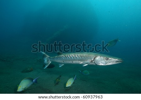 Baracuda - stock photo