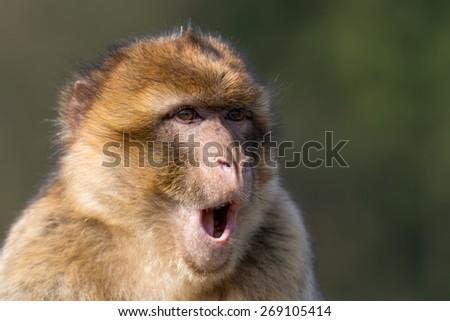 Barbary ape - stock photo