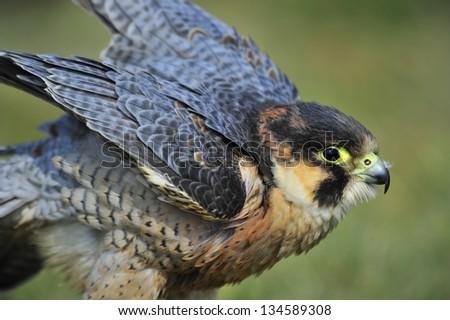 Barbary Falcon - stock photo