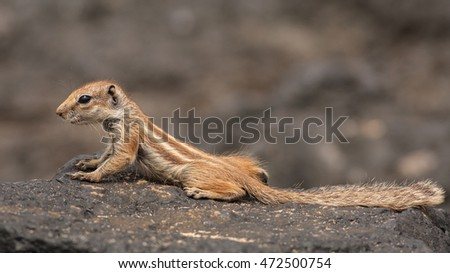 Barbary ground squirrel (atlantoxerus getulus), Fuerteventura, Canary Islands