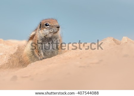 Barbary Ground Squirrel - Atlantoxerus getulus on Fuerteventura, one of the Canary Islands, blue sky and desert - stock photo