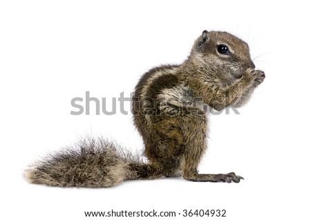 Barbary Ground Squirrel, Atlantoxerus Getulus, standing against white background, studio shot - stock photo