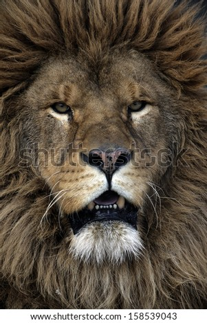 Barbary lion, Panthera leo leo, captive