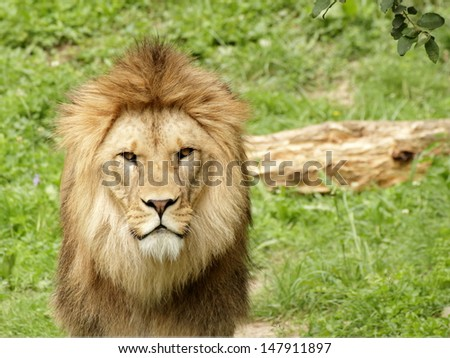 Barbary lion stay and looking into the camera