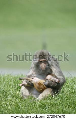 Barbary macaque carrying and feeding her baby - stock photo