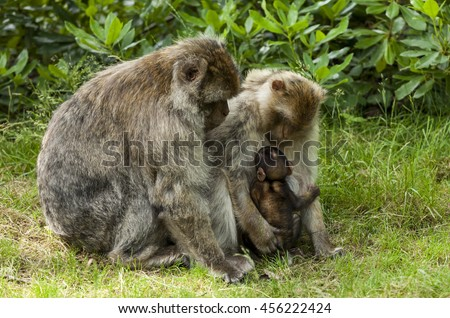 Barbary Macaque. Endangered species of monkey that lives in the mountains of Morocco and Algeria in North Africa. Single male and female macaques, young macaques and new born babies.