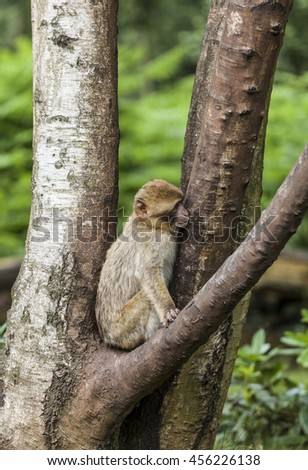 Barbary Macaque. Endangered species of monkey that lives in the mountains of Morocco and Algiers in North Africa. Single, male, female, young and newborn.