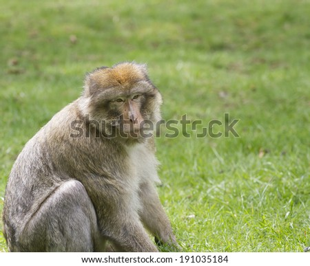 Barbary Macaque on grass