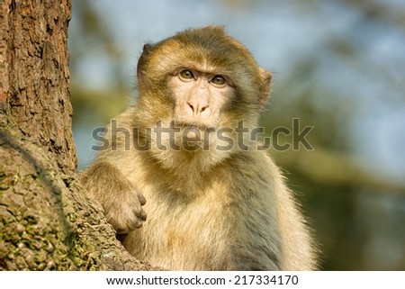 Barbary Macaque sitting in a tree at Monkey forest zoo, in Trentham, Stoke On Trent, Staffordshire, England, United Kingdom. - stock photo