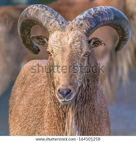 Barbary sheep frontal closeup portrait - stock photo